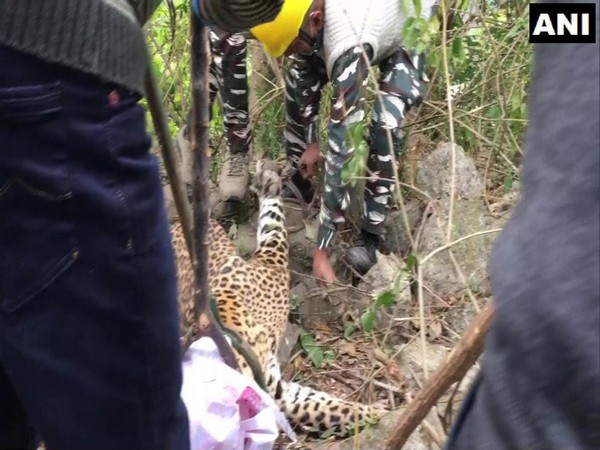 A leopard was rescued by forest officials in Dharamshala's Fatehpur village. (Photo/ANI)