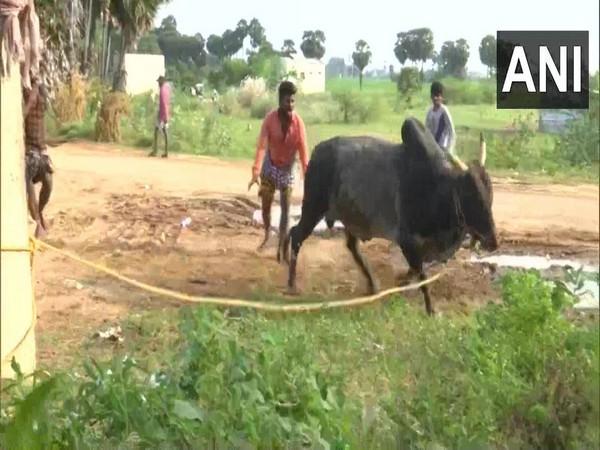 A man training a bull for the Jallikattu festival in Madurai. (Photo/ANI)
