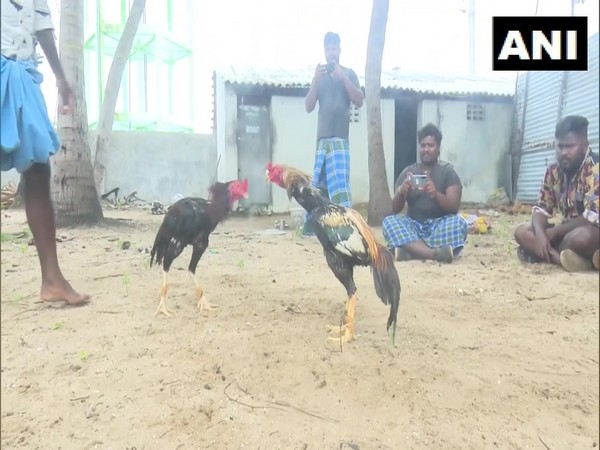 Rooster fight in Rameswaram ahead of Pongal (Photo/ANI)