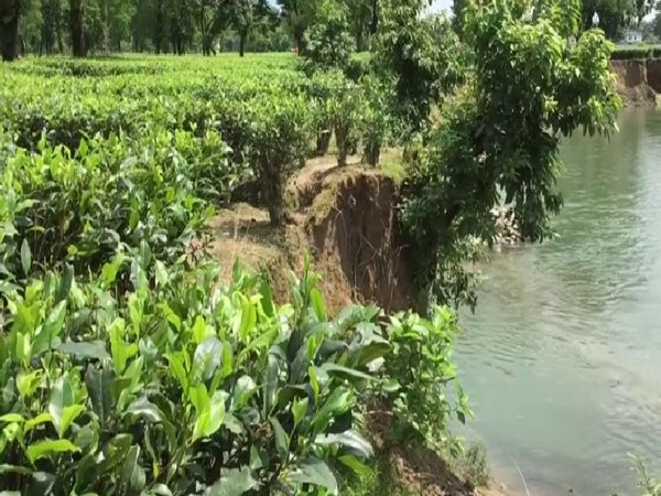 Due to the proximity of tea croplands with the rivers, the erosion has caused grave losses to the tea planters. Photo/ANI