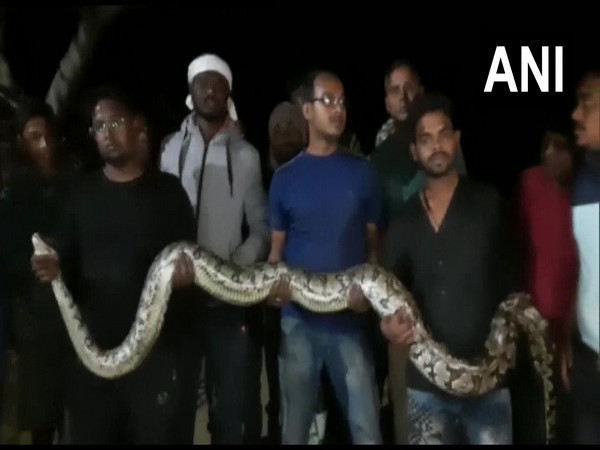 One 7-feet-long-python was rescued quickly, while the 11-feet-long took refuge inside JCB.