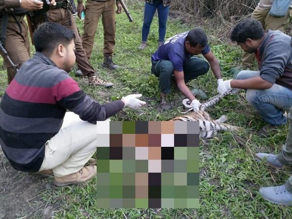 Kaziranga Range staff inspect carcass of a tiger cub. (Photo/ANI)