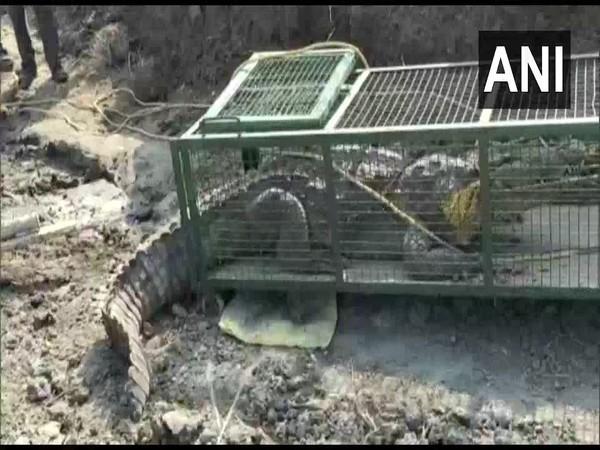 A visual of the crocodile rescued in Vadodara, Gujarat. Photo/ANI