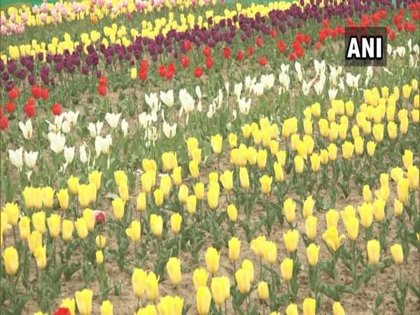Tulips in full bloom at Highland Park, Kud in Udhampur district of Jammu and Kashmir. [Photo/ANI]