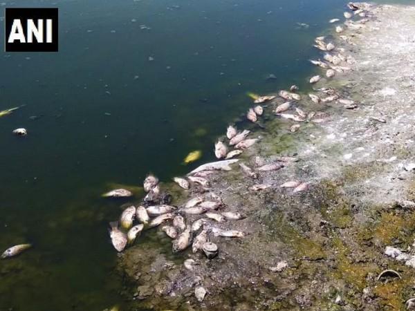 Dead fishes in the Selvi lake, Tamil Nadu (Photo/ANI)