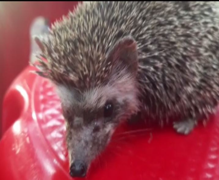 Rare hedgehog rescued from residential area in Gujarat's Vadodara on Sunday. Photo/ANI