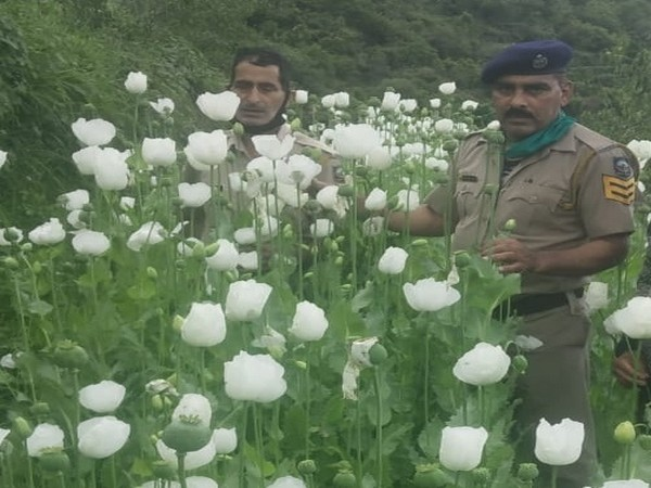 Visual of poppy plants recovered by Himachal Pradesh Police in Kullu. [Photo/ANI]