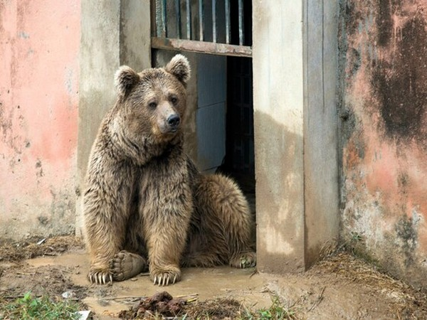 One of the two Himalayan bears at Marghazar Zoo. (Photo credit: Four Paws International)