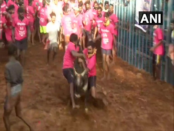 Visual from the Jallikattu competition in Avaniyapuram in Madurai on Wednesday. Photo/ANI