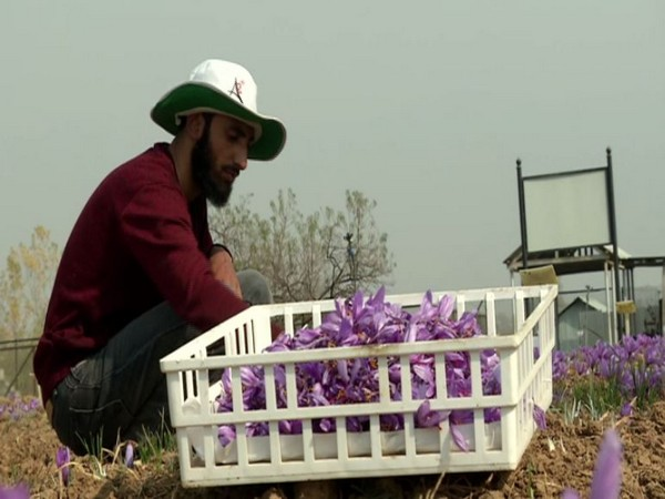 The world-famous Kashmiri saffron is amongst the most expensive spices grown in the valley. (Photo/ANI)