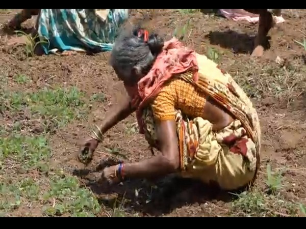A tribal woman while taking part in Subhiksha Keralam project in Kerala on Monday. [Photo/ANI]