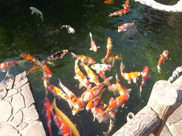 Koi fish is one of the most beloved pets in Japan.