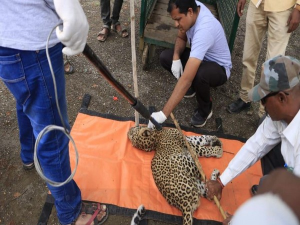 The injured leopard receiving treatment on Saturday (Photo/ANI)