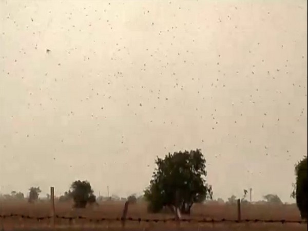 Locust continue to damage crops in Rajasthan Photo/ANI