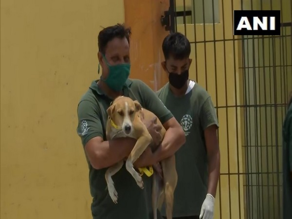 Lucknow civic body, along with the Humane Society International (HSI) India, sterilises, tags stray dogs. (Photo/ANI)