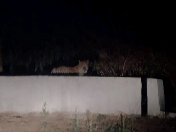Leopard spotted in Tirupati (image/ANI)