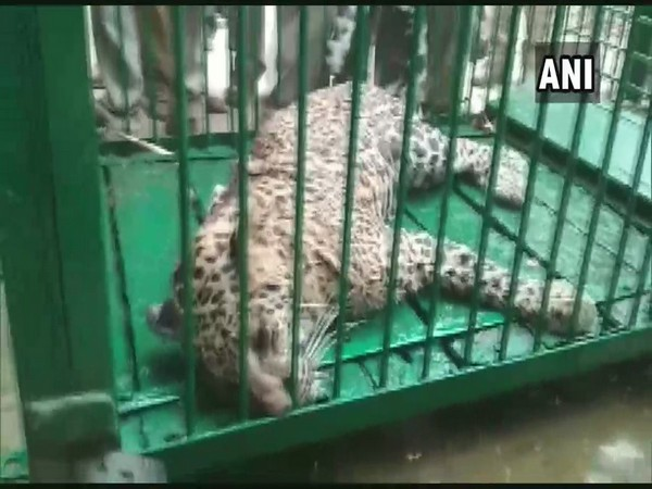 A leopard  captured by forest department in Bahraich on Friday. Photo/ANI