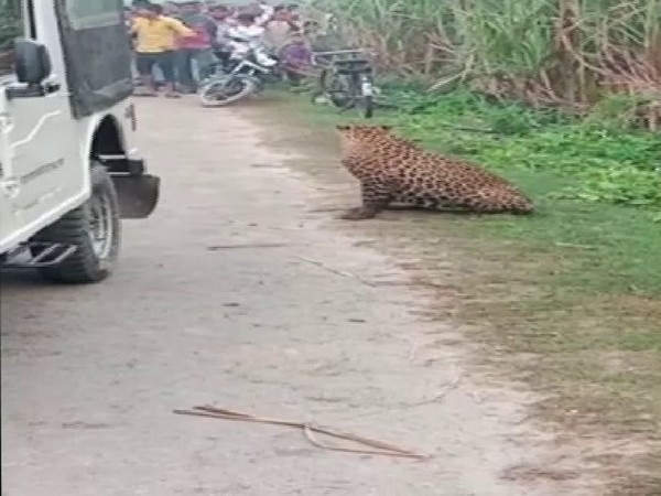 A leopard surrounded by villagers in Motipur, Bahraich on Friday