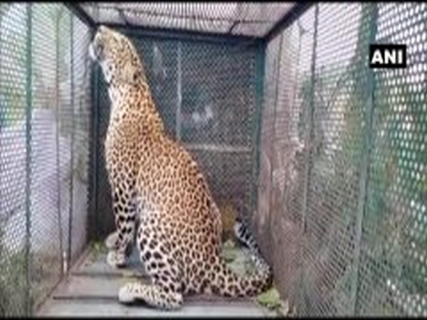 A leopard captured in Indore by forest official on Sunday. Photo/ANI