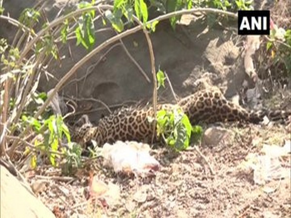 The injured leopard which was rescued by forest department officials in Udhampur on Saturday. photo/ANI