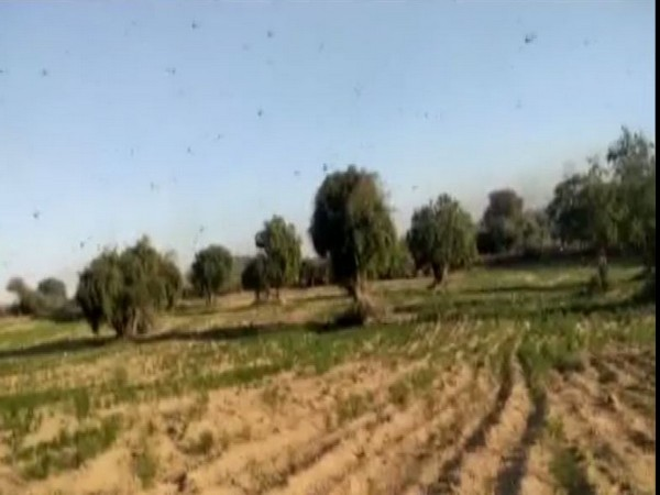 Locust attack in Rajasthan have destroyed crops in many districts.  Photo/ANI