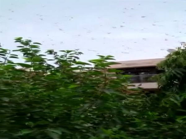 Locust swarms create menace in various parts of Gurugram on Saturday. Photo/ANI