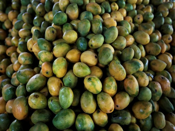 The king of fruits Mangoes