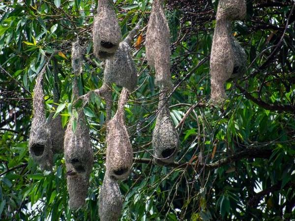 Nest built by Baya Weavers