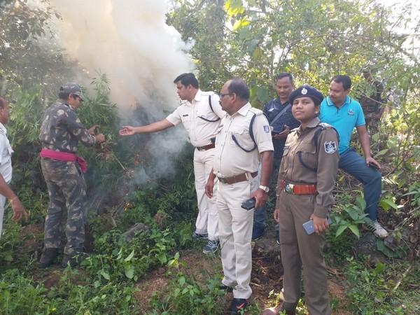 The police team destroying cannabis plants in Gajapati. Photo/Odisha Police