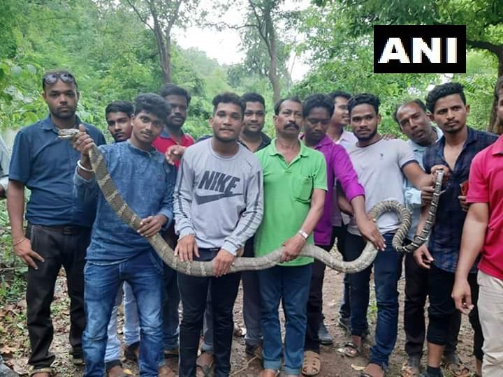 Snake helpline members rescued a rare 11 feet long snake in Malkangiri District of Odisha
