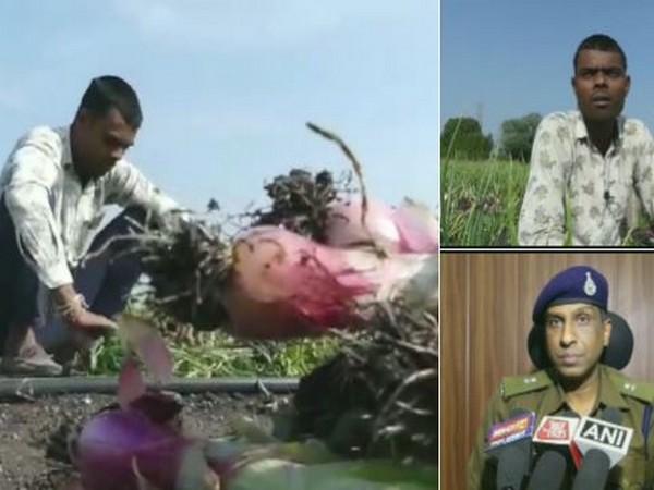 Farmer Jitendra Kumar's onion crop stolen by theives in Mandsaur in Madhya Pradesh. (Photo/ANI)