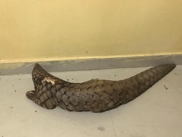 A rare species of pangolin recovered from Gariyaband district, Chhattisgarh. (Photo/ANI)