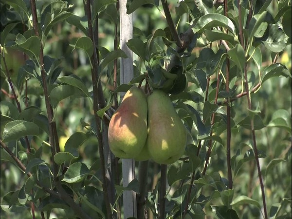 Sher-e-Kashmir University is growing high-density variety of pears. (Photo/ANI)