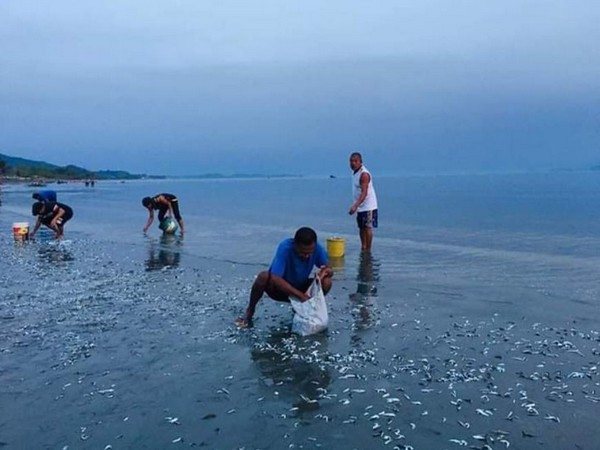 Residents of Mindoro collecting fishes which gathered at shoreline following an unusual low tide in Philippines