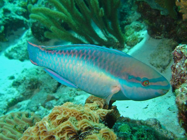 The biomass--the total mass of parrotfish in a region--was not impacted by fishing
