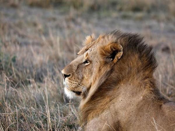 Pakistani man unleashes pet lion on electrician seeking wages