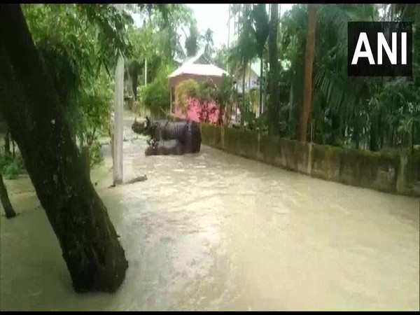 Rhinos spotted in residential area as forest area remains flooded in Assam on Tuesday. Photo/ANI