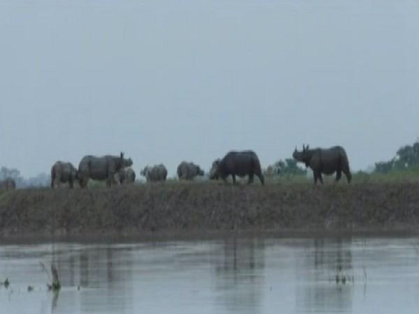 Rhinos from Kaziranga National Park moving towards highlands.