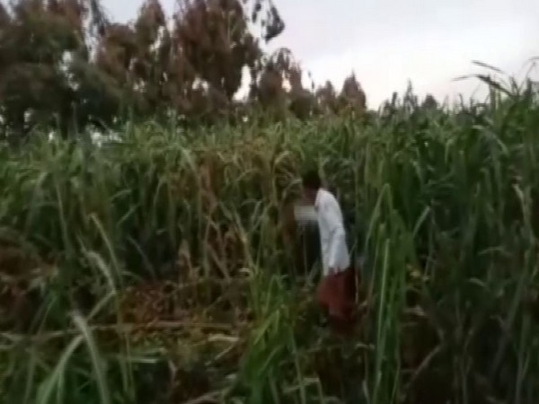A farmer scaring away locusts from his field in Sitapur (Photo/ANI)