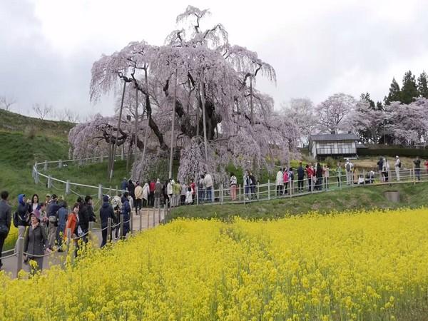 Miharu Takizakura, the waterfall cherry tree of Japan