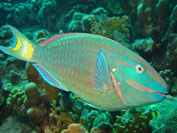 Parrotfish are a vital link in the reef ecosystem.