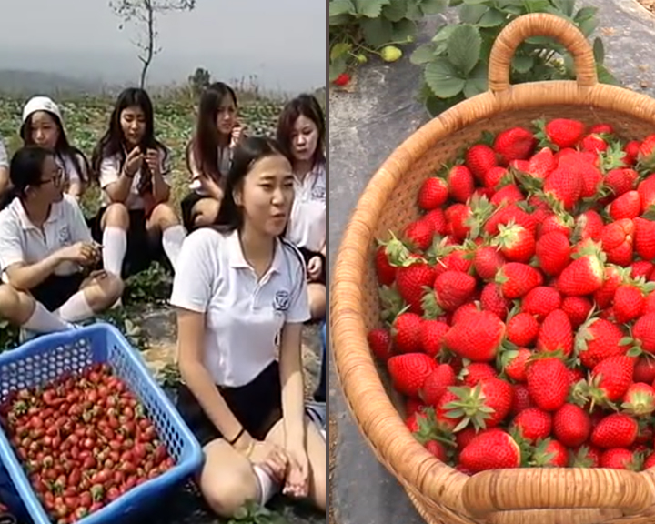 Integrated strawberry farm in Nagaland .