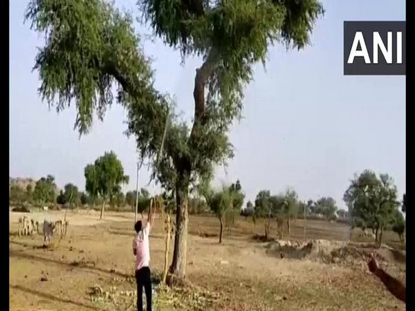 Swarms of locusts continue to damage crops in Barmer