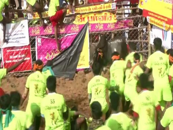 TN: 700 bulls participate in Jallikattu in Madurai's Palamedu. Photo/ANI