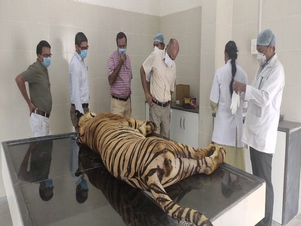 Tiger captured by forest officials dies Gorewada Rescue Centre in Nagpur on Monday.