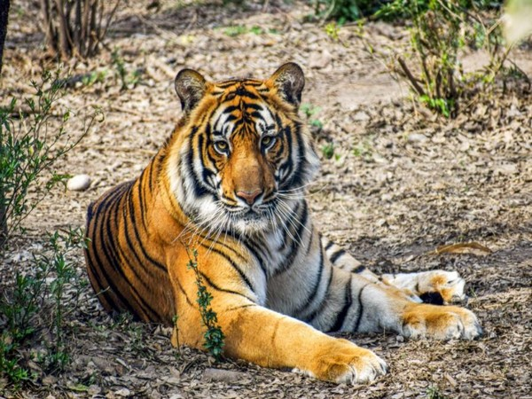 A tiger relaxes inside an artificial vegetation created inside Nepal's Central Zoo in capital Kathmandu. Photo/ANI