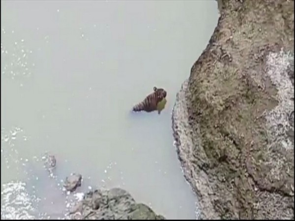 Tiger trapped in river Sirna. Photo/ANI