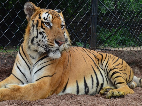 The 11-year-old Royal Bengal tiger named Kadamba, who died on Saturday night.