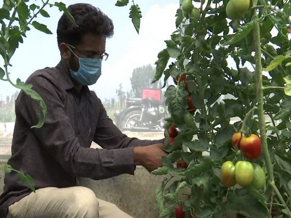 One of the new varieties of tomatoes being tested in Kashmir.