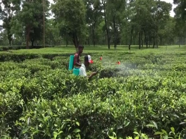 Tea garden in Siliguri. Photo/ANI